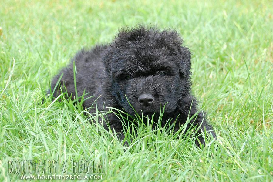 Bouvier des Flandres - puppies- Szczenięta Owczarek Flandryjski